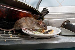 rat sur une assiette dans une cuisine