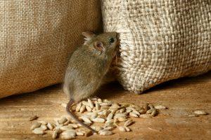 un rat qui ouvre un sac